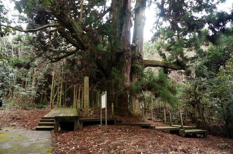 21 これが平川の大杉だ.JPG