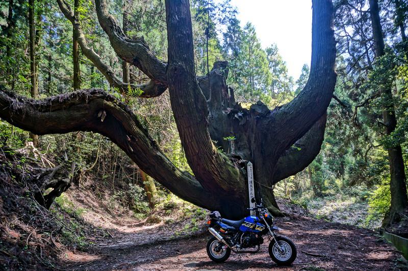 4 巨木です.JPG