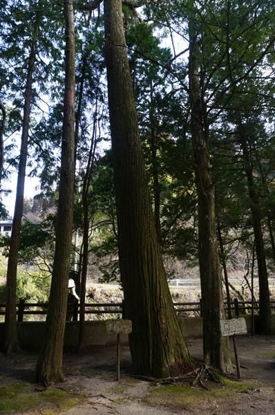 4 普通の杉ですケロ.JPG