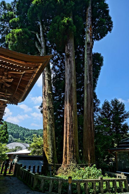 5 三本杉.JPG