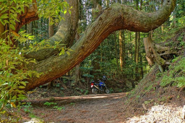 6 まっすぐなイメージの杉が.JPG