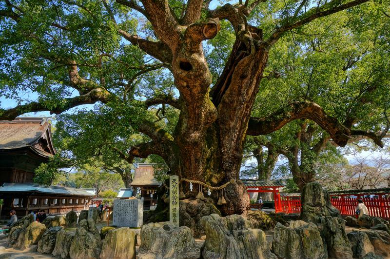 8 巨木.JPG