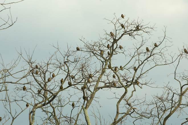 カワラヒワのツリー.JPG