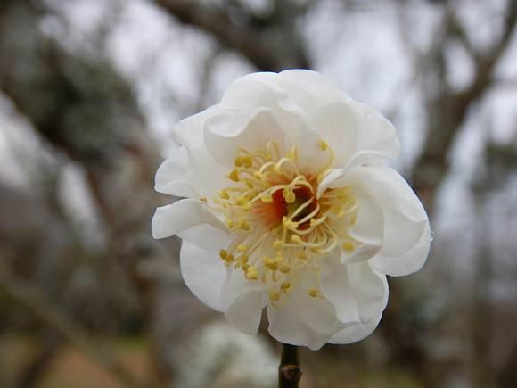 八重咲きだけ咲いてる.JPG