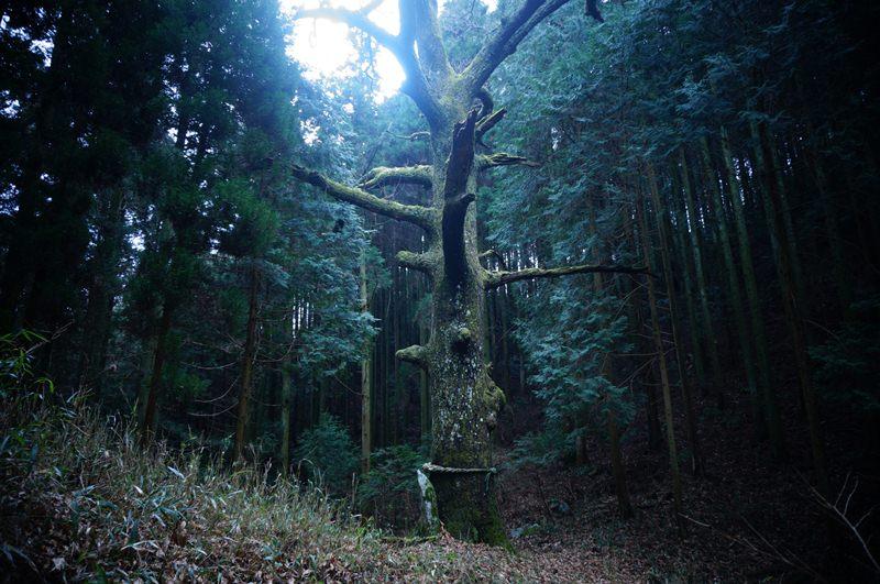 森の中の大クヌギ.JPG