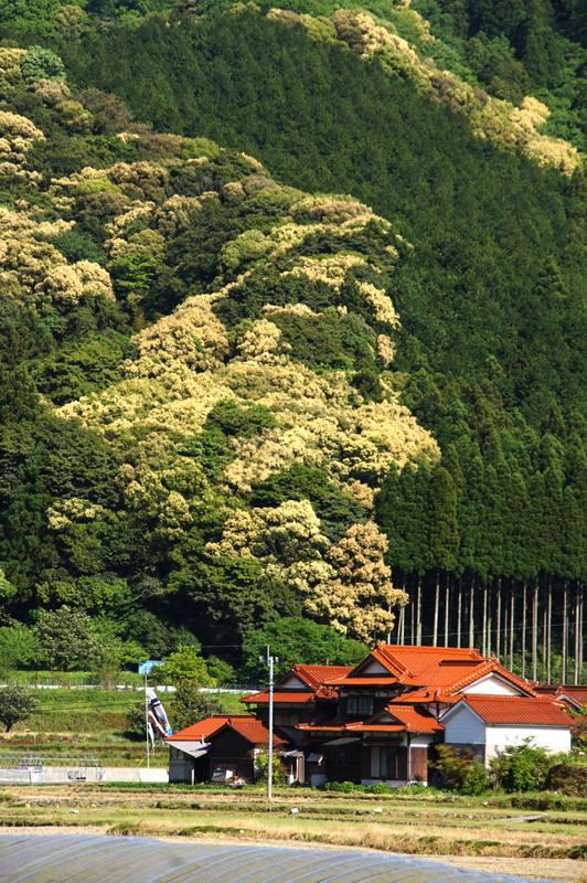 ドングリの花満開.JPG